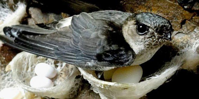 Sarang Burung Walet