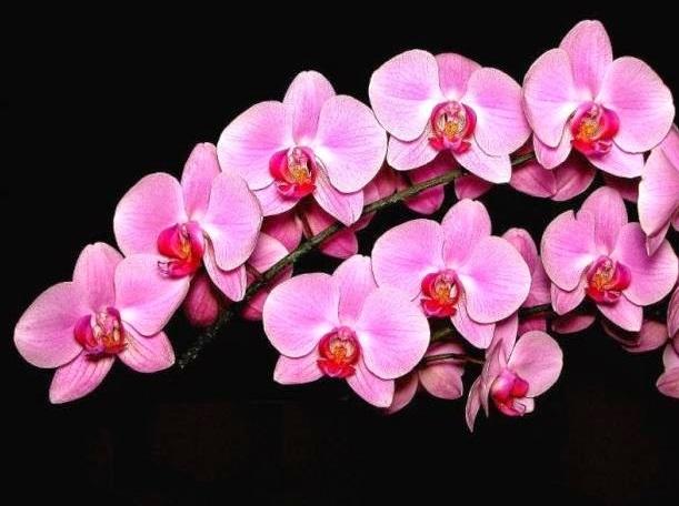 Manfaat Bunga Anggrek Untuk Kecantikan