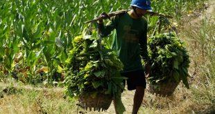 September Ceria Untuk Petani Tembakau Lamongan