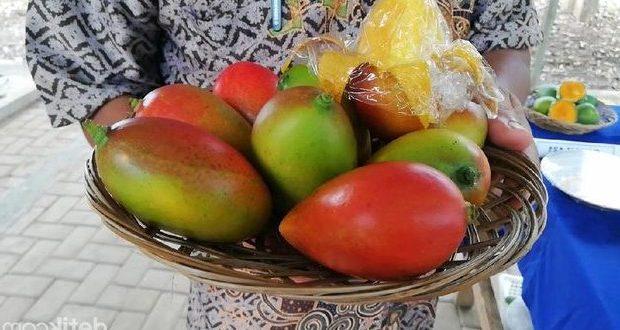 Trobosan Baru, Petani Lamongan Kembangkan Mangga Agrigardina 45, Unik dan Enak Rasanya!